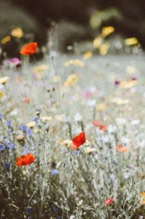 Verschiedene Wildblumen, unter anderem Mohn